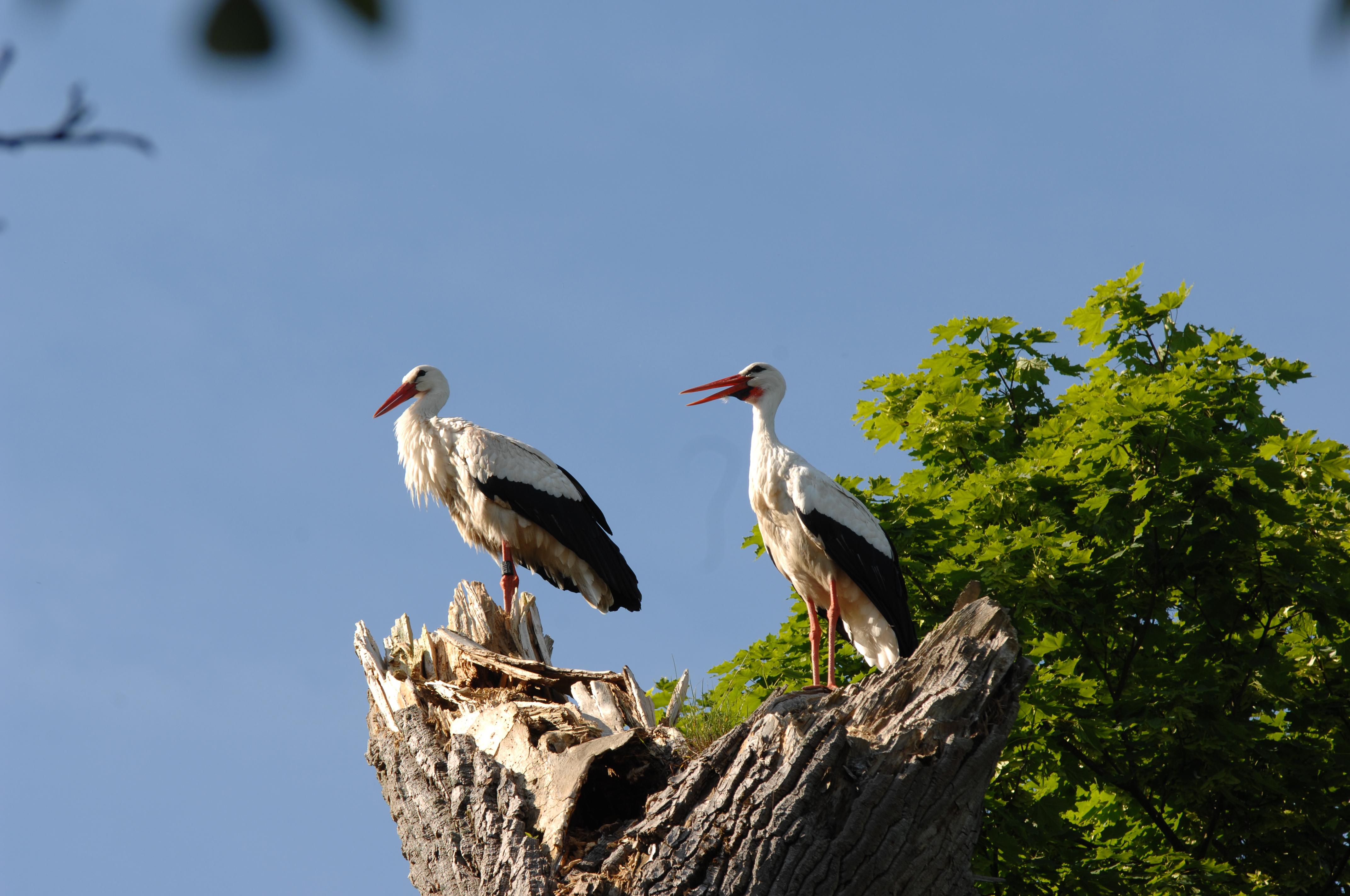 Storch auf Baumstumpf